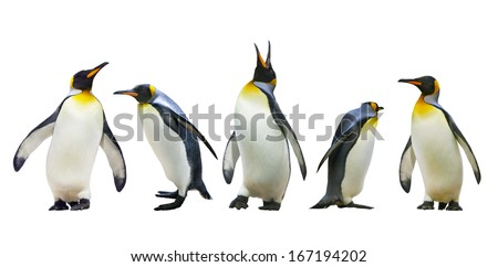 Emperor penguins. isolated on white background