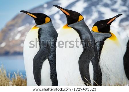 Emperor penguins of South Georgia Сток-фото ©