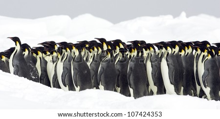 Emperor penguins, the Antarctic.