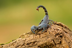 Emperor scorpion is a species of scorpion native to rainforests and savannas in West Africa. It is one of the largest scorpions in the world and lives for 6–8 years.