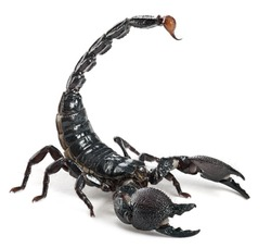 Emperor Scorpion,  Pandinus imperator, 1 year old, in front of white background