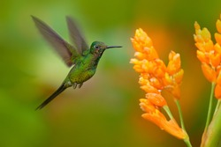 Empress brilliant hummingbird in flight with yellow flower in from Colombia. Hummingbird in the nature tropical forest flying next nice yellow bloom.