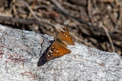 Empress Lailia Butterfly, Asterocampa leilia, resting on a boulder in the Sonoran Desert in Tucson, Arizona. Orange, black and gray colors in a close up photo.