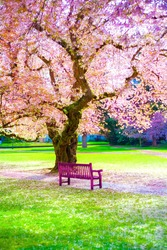 Empty bright pink wooden bench under beautiful flowering pink sakura cherry blossoms on sunny spring day. Path way lined and covered with pink flower petals amidst an empty park with no people.