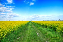 Empty, local road among blooming rapeseed field on a sunny day, in early May near Wroclaw, Poland. Spring landscape.