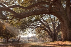 Empty rustic wooden swing hanging by rope on large live oak tree branch in the countryside at a farm or ranch looking serene peaceful calm relaxing beautiful southern