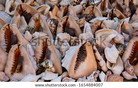 Empty sea shells on display for sale to tourists