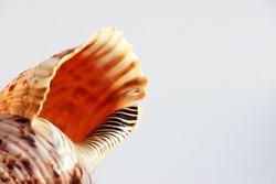 Empty shell of sea snail, Atlantic triton trumpet, Charonia variegata from sea.