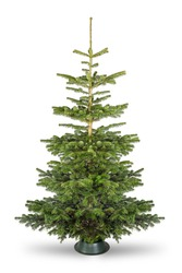 Empty undecorated natural  fresh green Nordmann pine christmas tree isolated in natural condition on white background