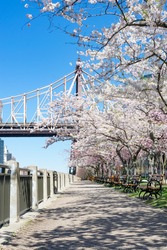 Empty Walkway with White Flowering Cherry Blossom Trees and Benches during Spring on Roosevelt Island in New York City