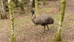 Emu bird in ZOO park in Usti nad Labem