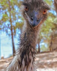 Emu Bird  Portrait outdoor photography