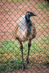 Emu bird walking close to the iron mesh fence, 'let me out' saying the innocent flightless huge bird.