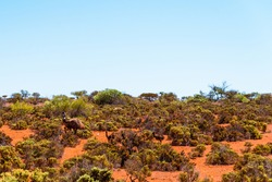 Emu family walking through Australian bushland against clear blue sky. Drought tolerant plants, shrubs growing on red sand in arid climate