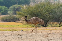 Emu feeding in countryside of Jeddah