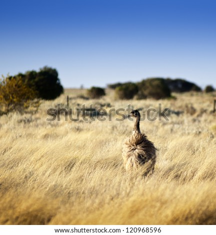 Emu in the wild of outback Australia