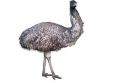 Emu isolated on white background.