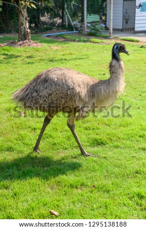 Emu ostrich bird standing in the grass garden