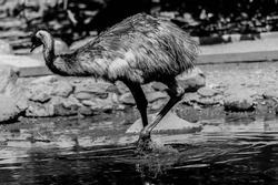 Emu second-largest living bird by height