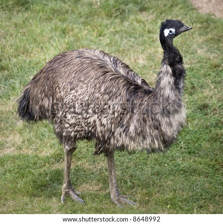 Emu Standing Up  Picture of the entire emu