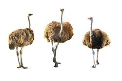 Emus isolated on white background.