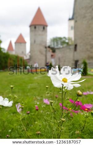 En primer plano una flor blanca, al fondo (fuera de foco) medieval city wall and towers, Tallinn, Estonia Foto stock ©