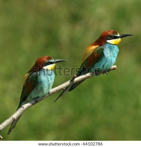 enamoured couple of bee-eaters alighted on a twig