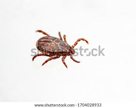 Encephalitis Infected Tick Insect Crawling on White Background. Lyme Borreliosis Disease or Encephalitis Virus Infectious Dermacentor Tick Arachnid Parasite.