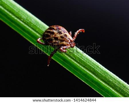Encephalitis Insect Tick Crawling on Grass on Dark Background. Encephalitis Virus or Lyme Borreliosis Disease Infectious Dermacentor Tick Arachnid Parasite Macro.