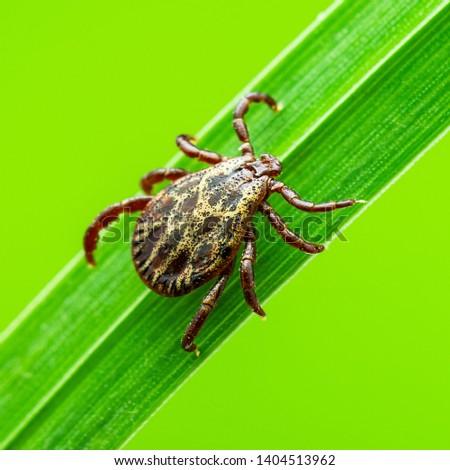 Encephalitis Tick Insect Crawling on Green Grass. Encephalitis Virus or Lyme Borreliosis Disease Infectious Dermacentor Tick Arachnid Parasite Insect Macro.
