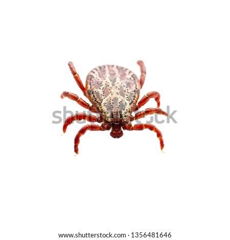 Encephalitis Virus or Lyme Borreliosis Disease or Monkey Fever Infectious Dermacentor Dog Animal Tick Arachnid Parasite Insect Macro Isolated on White Background #1356481646