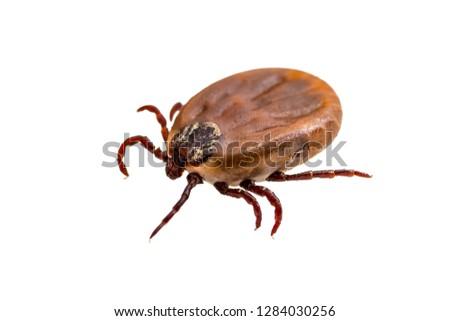 Encephalitis Virus or Lyme Borreliosis Disease or Monkey Fever Infectious Dermacentor Tick Arachnid Parasite Insect Macro Isolated on White #1284030256