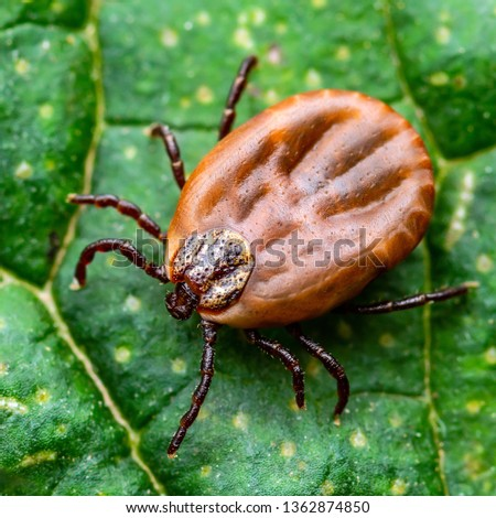 Encephalitis Virus or Lyme Borreliosis Disease or Monkey Fever Infectious Dermacentor Tick Arachnid Parasite Insect on Green Leaf Macro #1362874850