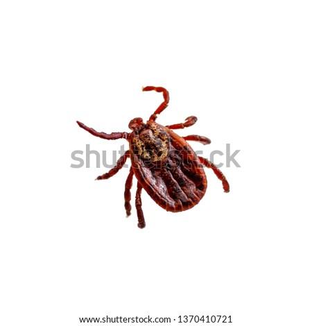 Encephalitis Virus or Lyme Borreliosis Disease or Monkey Fever Infectious Dermacentor Tick Arachnid Parasite Insect Macro Isolated on White Background #1370410721