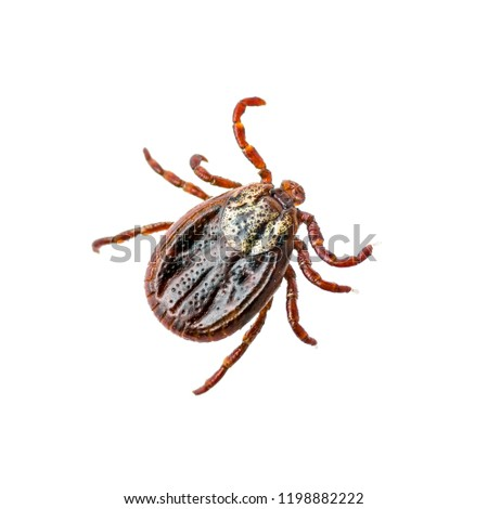 Encephalitis Virus or Lyme Disease Infected Dermacentor Tick Arachnid Insect Pest Isolated on White Background