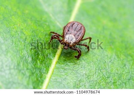 Encephalitis Virus or Lyme Disease or Monkey Fever Infected Tick Arachnid Insect on Green Leaf Macro