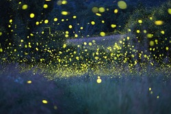 Enchanted magical forest of fireflies (lightning bugs) on a warm summer evening. Long exposure creates ethereal and nostalgic atmosphere