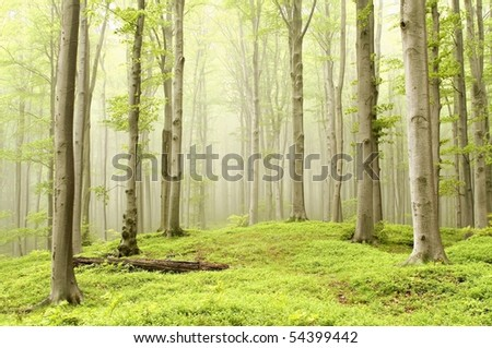 Enchanted spring forest with mist moving between the beech trees. Photo taken in June.