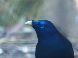 Enchanting Beautiful Male Satin Bowerbird with Dazzling Blue Plumage & a Hypnotic Gaze.