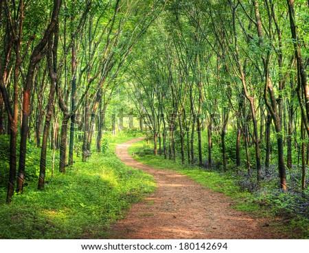 Enchanting Forest Lane in a Rubber Tree Plantation, Kerela, India