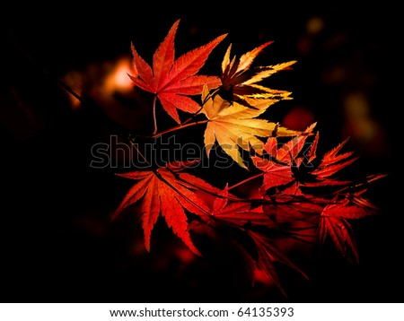 Enchanting yellow to red gradient on the autumn leaves of a Japanese maple tree in the forest.