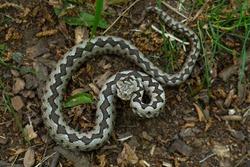 Encounter with a beautiful venomous snake: horn nosed viper - Vipera ammodytes