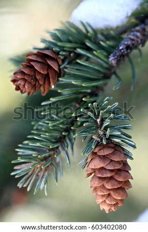 End of a subalpine fir (balsam fir) branch with cones. #603402080