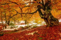End of autumn and first snow in the jungle of Irati. 2nd largest beech in Europe. Navarra. Spain.