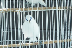 Endangered and rare Bali Starling bird or Bali myna in a bird cage
