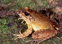 Endangered Australian Great Barred Frog