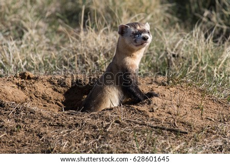 Endangered Black-footed Ferret Enjoying some Sunshine #628601645