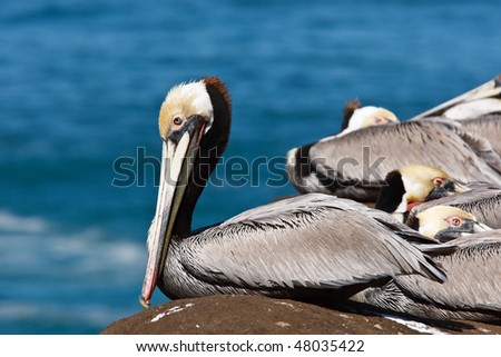 Endangered Brown Pelican