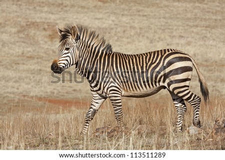 Endangered Cape Mountain Zebra; Equus zebra