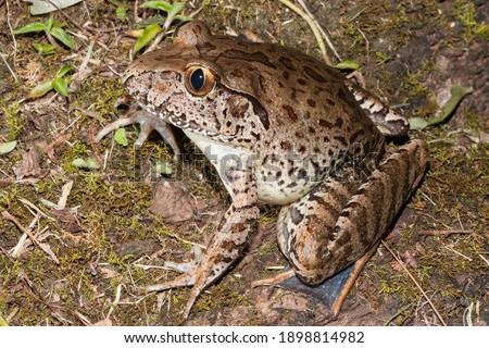 Endangered Giant Barred Frog from Australia Foto stock ©
